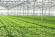 Cultivo en Invernadero